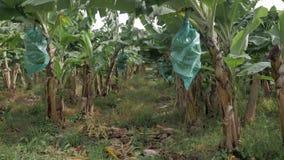 Grupper av gröna bananer i ett bananfält arkivfilmer