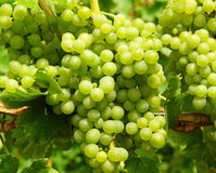 Grupper av gröna druvor arkivbild