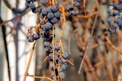 Grupper av isabella druvor som är nära upp fotoet royaltyfri foto