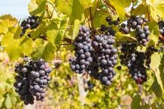 Grupper av mogna Cabernet - sauvignon druvor på vinranka i vingård royaltyfri fotografi
