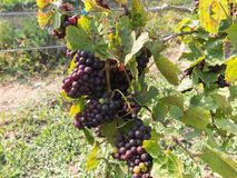 Grupper av mogna druvor i vingård Royaltyfri Bild