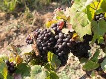 Grupper av mogna druvor i vingård Royaltyfri Fotografi