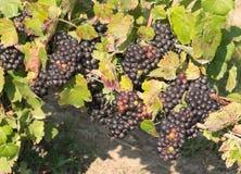 Grupper av mogna druvor i vingård Royaltyfria Bilder