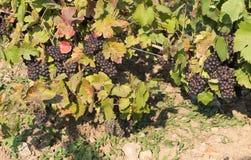 Grupper av mogna druvor i vingård Arkivfoton