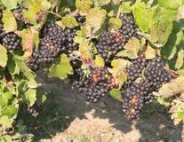 Grupper av mogna druvor i vingård Arkivbilder