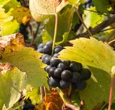 Grupper av mogna druvor i vingård Arkivfoto