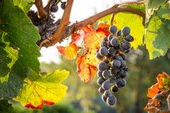 Grupper av mogna druvor som växer i vingård på solnedgången Ordna till nästan för skörd arkivbilder