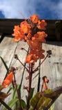 Grupper av orange blommor med himmelbakgrund Royaltyfria Foton