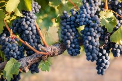 Grupper av perfekta svarta druvor på gammal vinranka med varm jordbakgrund Arkivfoton