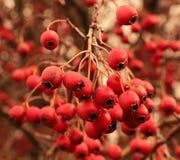 Grupper av röd hagtorn royaltyfria bilder