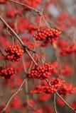 Grupper av rönnbär på riset Royaltyfri Foto