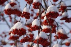 Grupper av rönnen som täckas med snö Arkivfoto