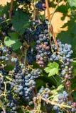 Grupper av rött vindruvor som hänger på vinet i sol för sen eftermiddag arkivbild