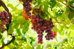 Grupper av rött vindruvor som hänger på vinet i sol för sen eftermiddag Fotografering för Bildbyråer