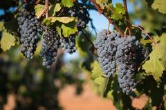Grupper av svarta druvor på sommarvinranka Arkivbilder