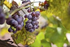 Grupper av svarta druvor på vinranka Royaltyfri Fotografi