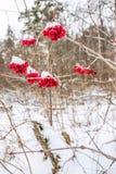 Grupper av viburnumen som täckas med den insnöade vinterskogen Arkivbild