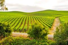 Grupper av vindruvor som växer i vingård Fotografering för Bildbyråer