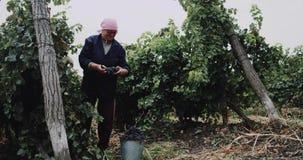 Grupper för gammal kvinna för Closeup manuella samlande av röda druvor lager videofilmer