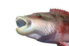 Grupper fish. With opened mouth on white royalty free stock photo