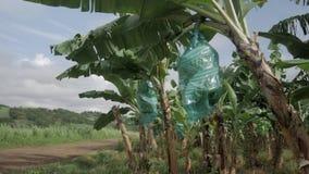 Grupper och av gröna bananer med plast- skydd i ett bananfält lager videofilmer