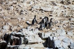 Gruppera den Humboldt pingvinet, Spheniscushumboldtien, islaen de Ballestas, Peru Royaltyfri Foto