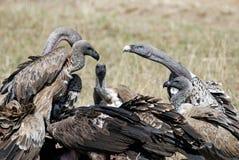 Gruppera gam som äter döda djur i den afrikanska savannet Royaltyfria Foton