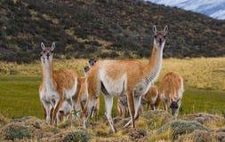 Gruppera guanacoen i nationalparken Torres del Paine chile Royaltyfria Bilder