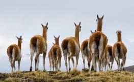 Gruppera guanacoen i nationalparken Torres del Paine chile royaltyfri foto