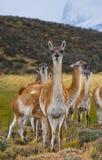 Gruppera guanacoen i nationalparken Torres del Paine chile Fotografering för Bildbyråer