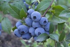 Gruppera nya mogna blåbär på den gröna Bush Arkivfoton