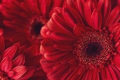 Gruppera röda gerberas för od, makrofotografi och blommar bakgrund Arkivfoton