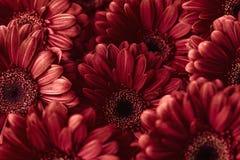 Gruppera röda gerberas för od, makrofotografi och blommar bakgrund Arkivbild