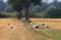 Gruppera storkar i holländska fält av Brummen Arkivbilder