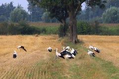 Gruppera storkar i holländska fält, Brummen Arkivfoton
