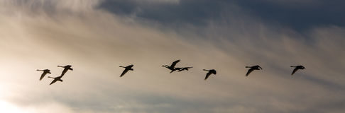 Gruppera whoopersvanar som i flykten heading till norden Royaltyfria Bilder