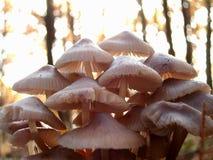 Gruppering av champinjoner Royaltyfri Fotografi