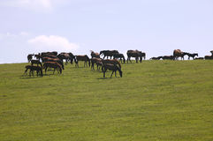Gruppering av hästar på sommartid Fotografering för Bildbyråer