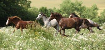 Gruppering av hästar som kör i blommig plats arkivbild
