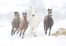Gruppering av hästar som kör i vinter Arkivbilder