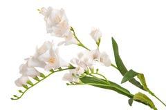 Gruppfilialblomning-växt med den vita blomman Royaltyfri Foto