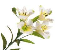 Gruppfilialblomning-växt med den vita blomman Royaltyfria Bilder