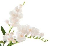 Gruppfilialblomning-växt med den vita blomman Royaltyfri Bild