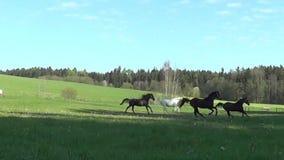 Grupphästar galopperar fritt i ängen som är lycklig i sommar stock video