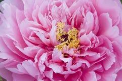 Gruppi del fiore del Peony Immagini Stock