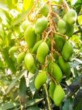 Gruppi di attaccatura dei manghi verdi Fotografie Stock Libere da Diritti