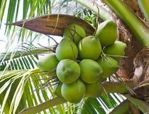 Gruppi di terminali del primo piano verde delle noci di cocco Fotografia Stock