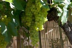 Gruppi di terminali dell'uva Immagini Stock