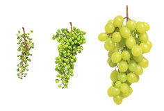 Gruppi di terminali dell'uva Fotografia Stock