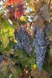 Gruppi di terminali dell'uva del vino rosso Fotografia Stock